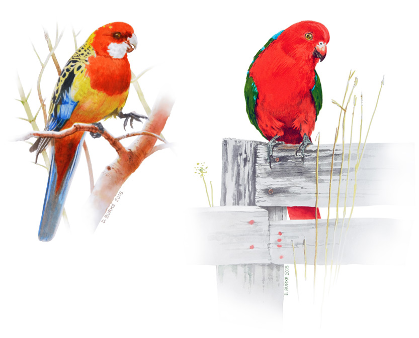 Eastern Rosella and King Parrot. Watercolour Dyes on board.