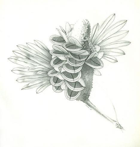 Australian Banksia, with some interpretation. Pencil on paper.